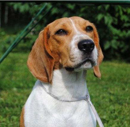 Beagle Kokemuksia